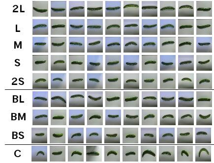 การแบ่งแตงกวาเป็น 9 เกรดของฟาร์มที่บ้าน Makoto Koike เรียงจากเกรดสูงสุด (บน) มายังเกรดต่ำสุด (ล่าง) (ที่มาของภาพ: https://cloud.google.com/blog/big-data/2016/08/how-a-japanese-cucumber-farmer-is-using-deep-learning-and-tensorflow)